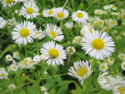 白い花 香久山の麓