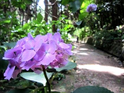 矢田寺へんろ道に開花する紫陽花