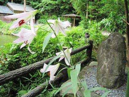 大神神社のささゆり