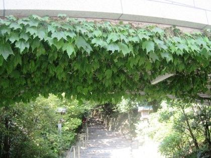 蔦の葉 大神神社