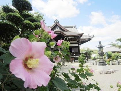 橘寺の芙蓉 フヨウ ふよう 芙蓉の名所
