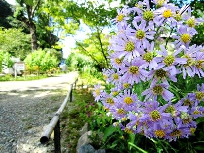 橘寺のシオン 紫苑