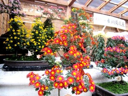 奉納菊花展の菊の花 大神神社