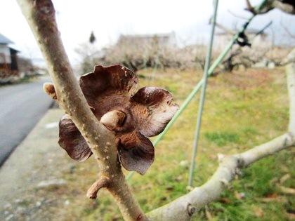 冬の山の辺の道 柿のへた