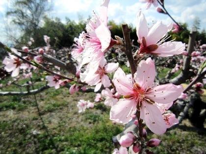 桃の花 桧原神社