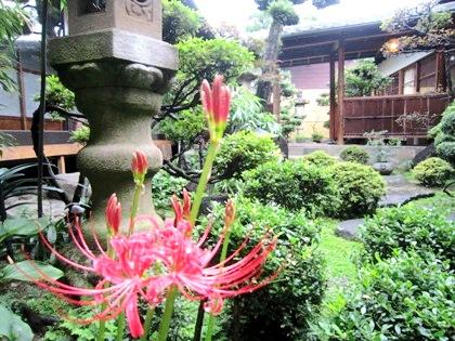 大正楼中庭に咲くヒガンバナ 彼岸花