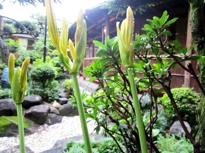 開花前のヒガンバナ