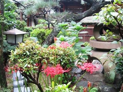 中庭に咲くヒガンバナ