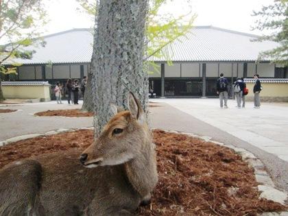 東大寺ミュージアム前に佇む奈良公園の鹿