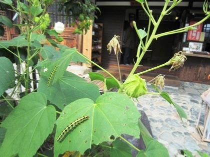 芙蓉の葉に付く毛虫