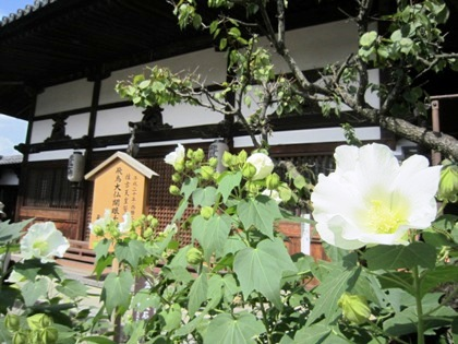 飛鳥寺の芙蓉