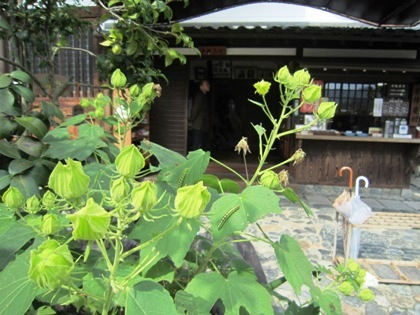 飛鳥寺の芙蓉 つぼみ