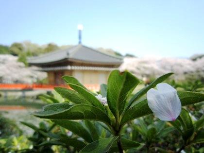 桜の花びら 安倍文殊院