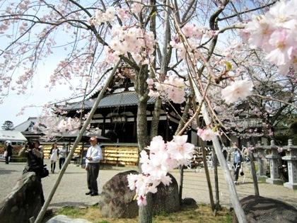 仲麻呂望郷しだれ桜