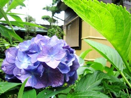 中庭の紫陽花