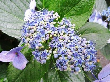 中庭に咲くアジサイ