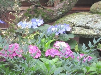 大正楼中庭に咲く紫陽花