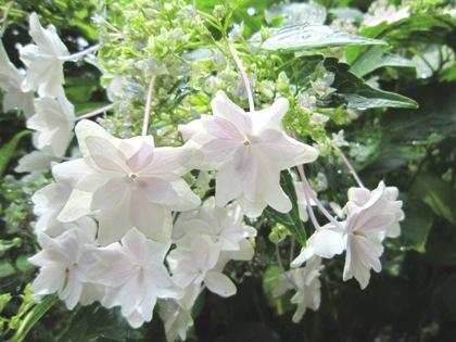 天岩戸神社の紫陽花