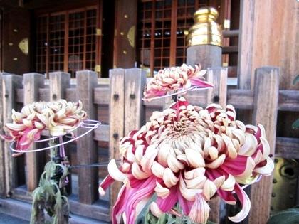 菊の花 大神神社祈祷殿