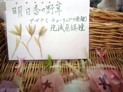 甘菜 アマナ あまな 明日香の野草