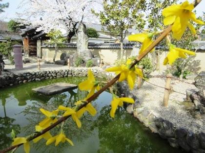 飛鳥寺のレンギョウと桜