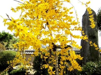 飛鳥寺のレンギョウ