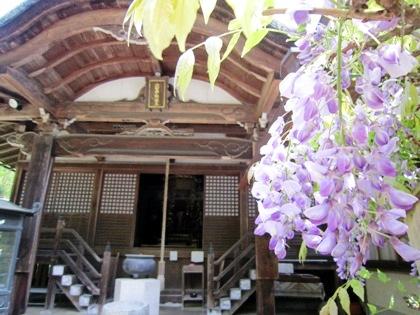 普門院不動堂の藤の花