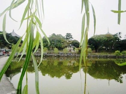 猿沢池 柳の葉