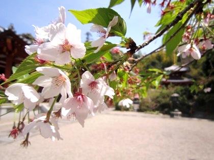 三輪山平等寺の桜