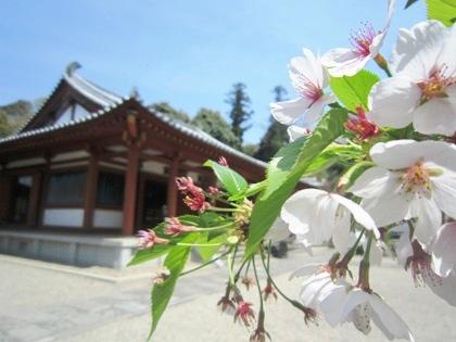 平等寺本堂と桜