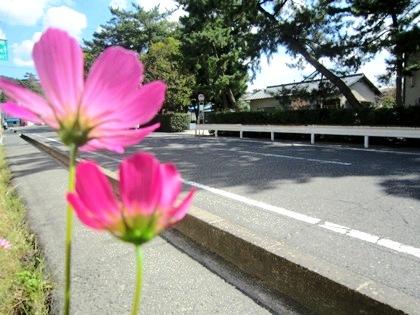 大神神社参道沿いに咲くコスモス