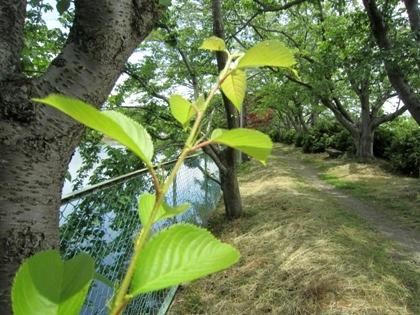 醍醐池の桜並木