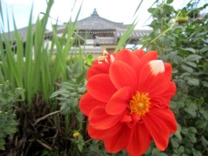 飛鳥寺門前のダリア