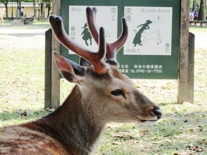 奈良公園の鹿 knockdown