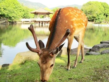 浮見堂と奈良公園の鹿