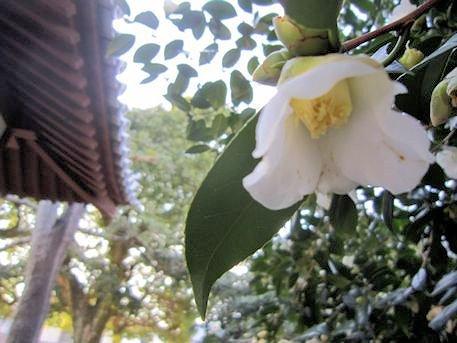 伝香寺の散り椿