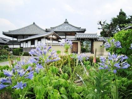 飛鳥寺とアガパンサスの花