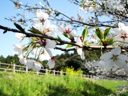 箸墓古墳の桜 桜の開花予想