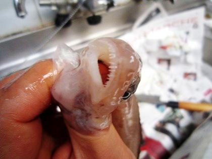ゲンゲの歯