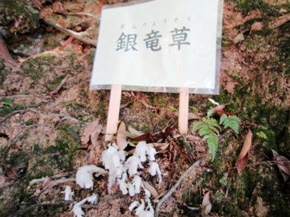 大神神社の銀竜草