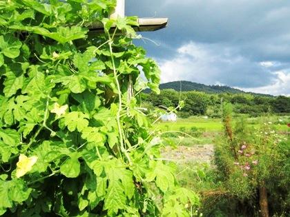 三輪山 ゴーヤ畑