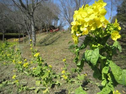 高松塚古墳に開花する菜の花