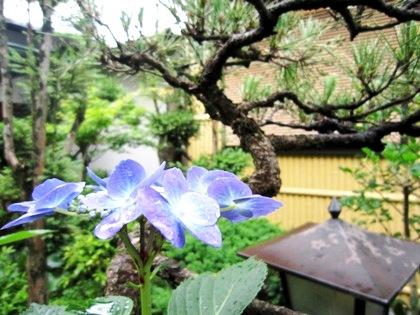 青い紫陽花 大正楼中庭