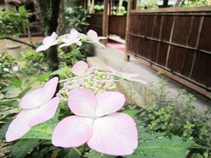 紫陽花 中庭の渡り廊下
