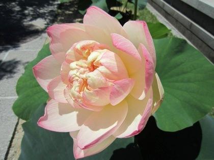 ハスの花 蓮の花