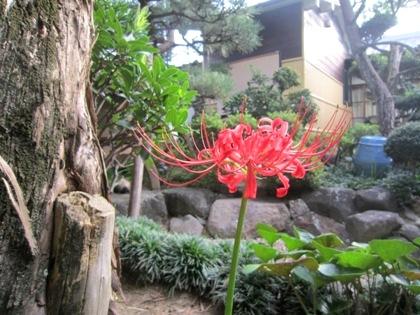 大正楼中庭のヒガンバナ