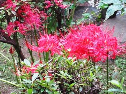 中庭のヒガンバナ