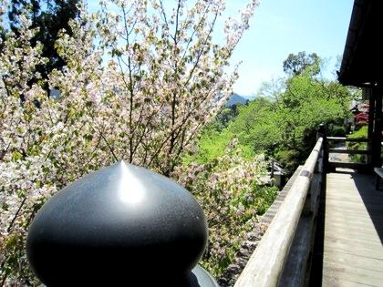 能満院の桜