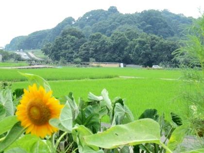 飛鳥の向日葵 甘樫丘