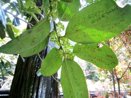法起院の多羅葉樹